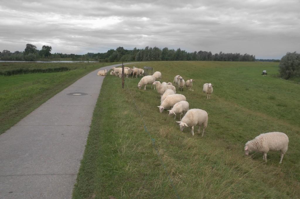 Hollantilaisia lampaita