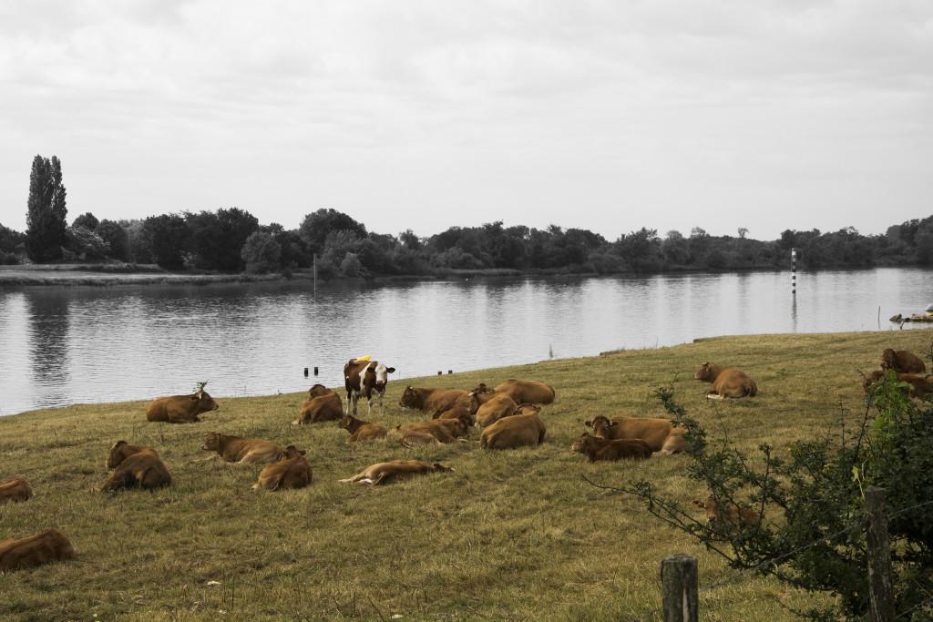 Saōne-joen lehmiä