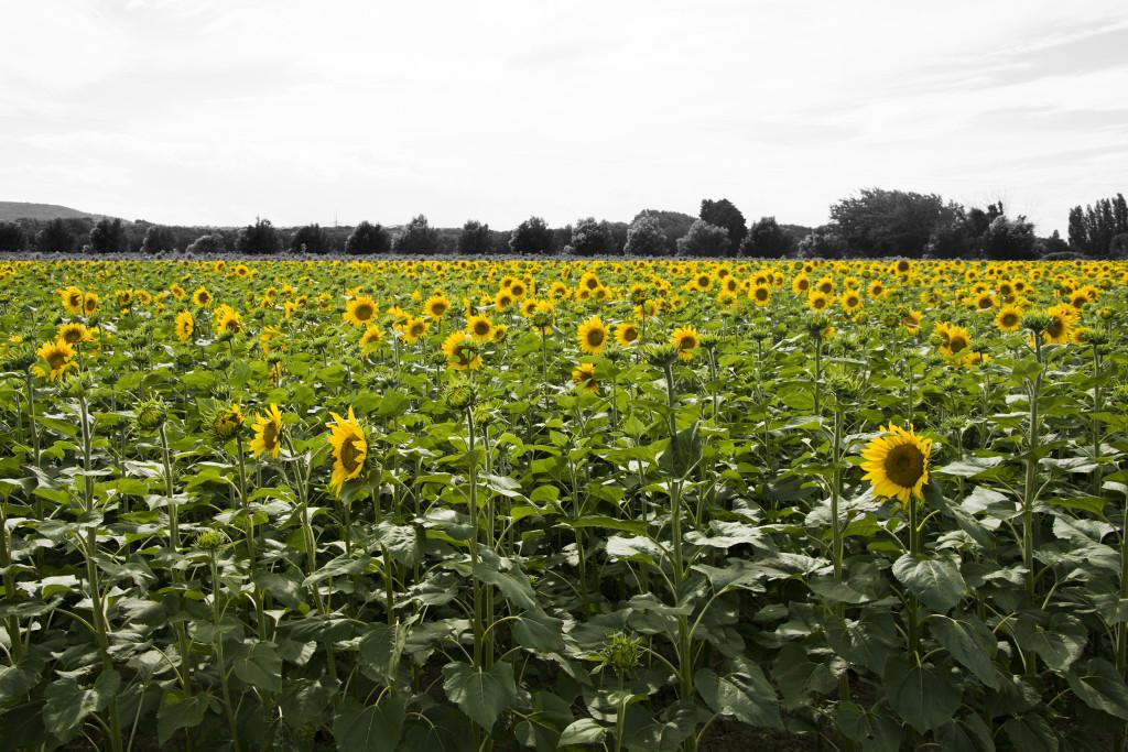 Auringonkukkia Ranskassa