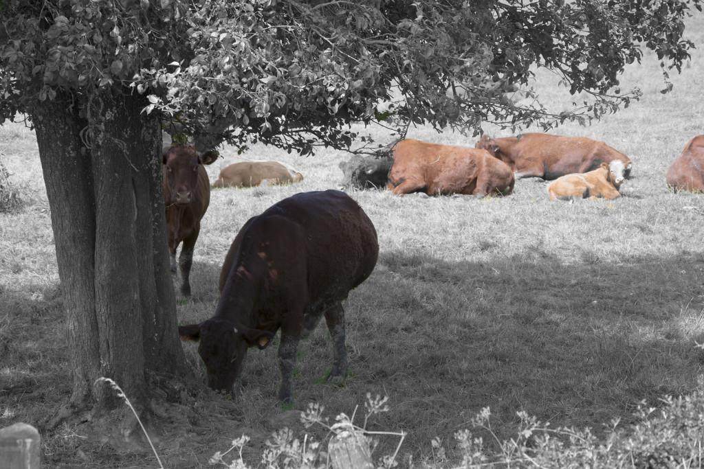 Lehmiä Pohjois-Ranskassa