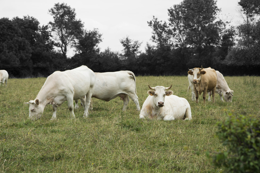 Lehmiä Maconin lähistöllä